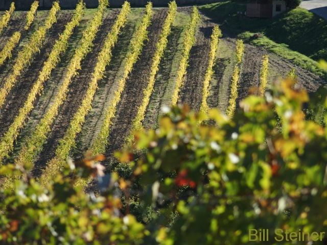 Palazzone vineyard - Orvieto, Italy