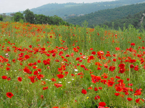 May poppies in an Umbrian field